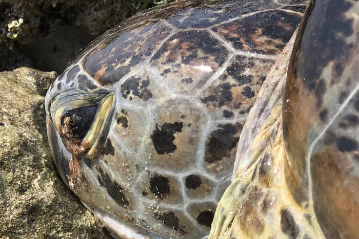 Why do sea turtles cry? A green turtle excreting excess salt seems to be crying. Image.