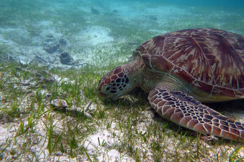 A green turtle eating sea grass, Maldives. Image.