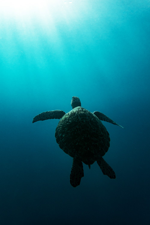 Green turtle swimming in the big blue towards the sunlight. Image.