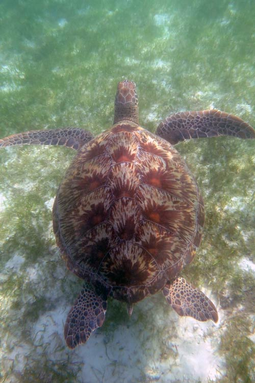 Adult female green turtle with small tail swimming in sea grass meadow, Maldives, image.