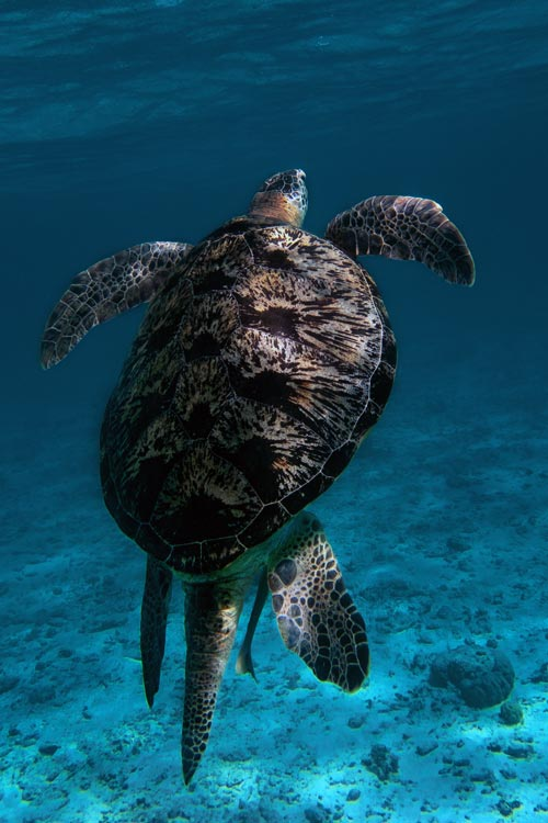 An adult male green turtle from behind showing a long tail, Maldives. Image.