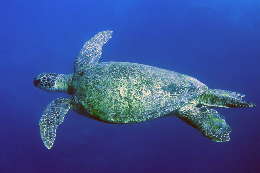 An adult male green turtle, Bjorn, approximately 100cm long, swimming in the blue, Maldives. Image.