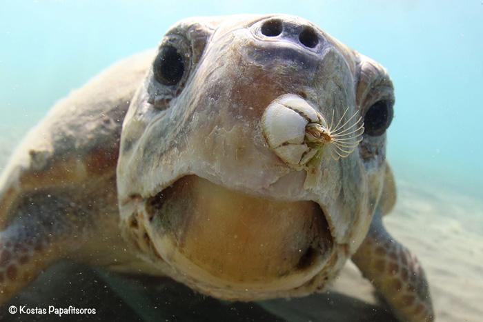Barnacle on loggerhead sea turtle, Greece. Image.