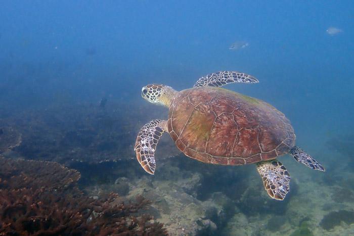 Green turtle swimming neat a reef, Oman. Image