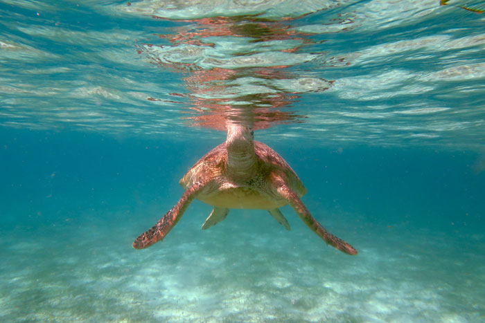 Underwater image of a green turtle popping its head above water for a breath, Maldives. Image.