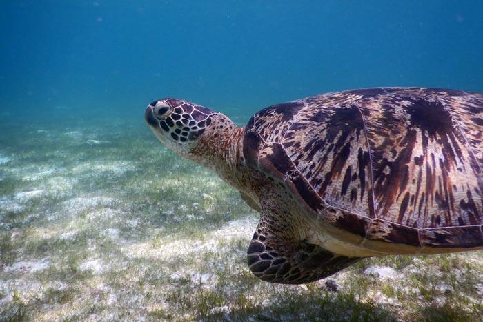Male green sea turtle swimming over sea grass, Lhaviyani Atoll, Maldives