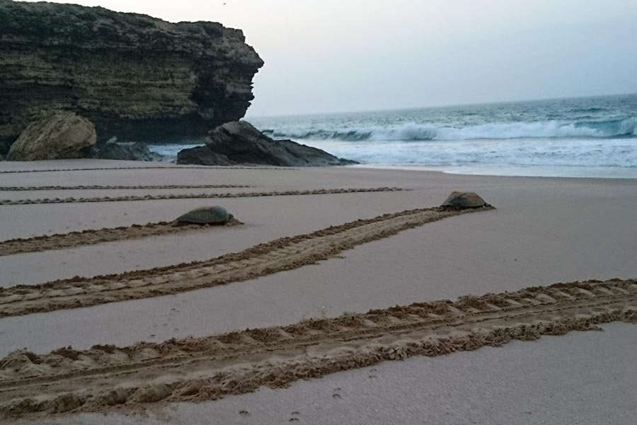 Two green sea turtles leaving tracks in the sand as they return to sea after nesting on a beach in Oman. Image.