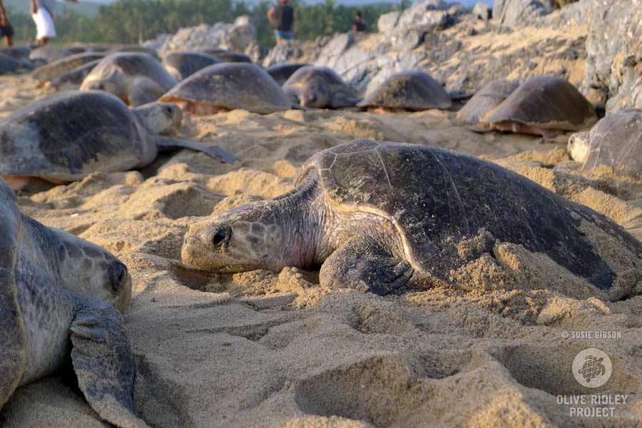 Nesting female olive ridley turtles, Aribada. Image.