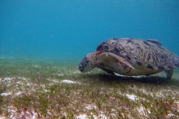 Adult male green turtle feeding on sea grass, Lhaviyani Atoll, Maldives. Image.