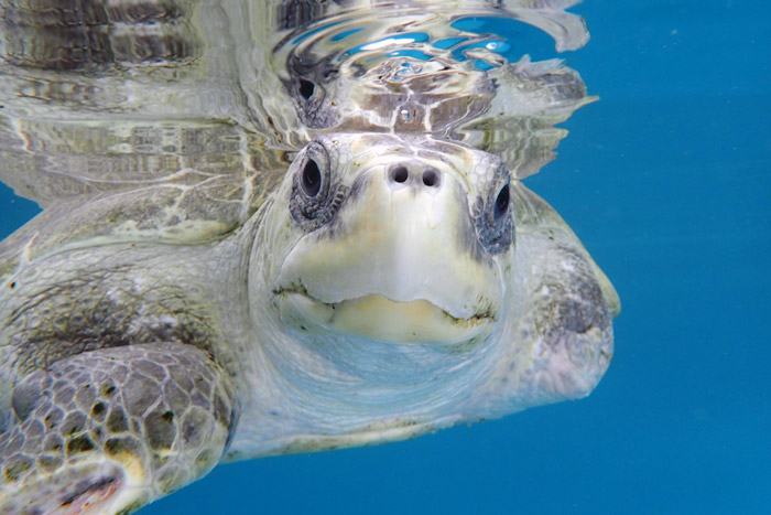 Adult male olive ridley turtle and double flipper amputee from ghost net entanglement, Heidi. Image.