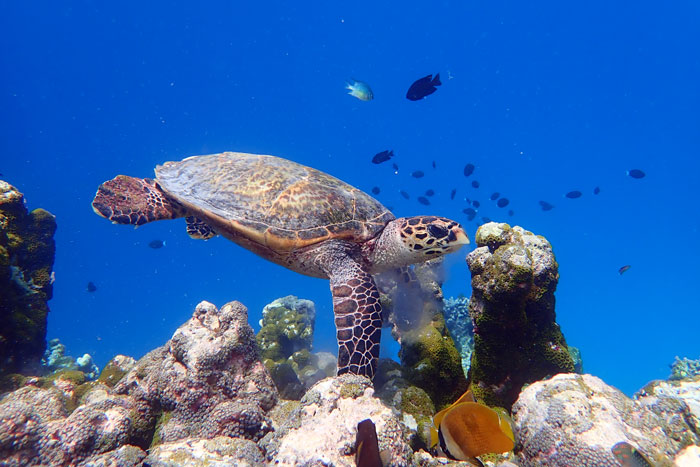 Juvenile hawksbill swimming over colourful reef, Maldives. Image.