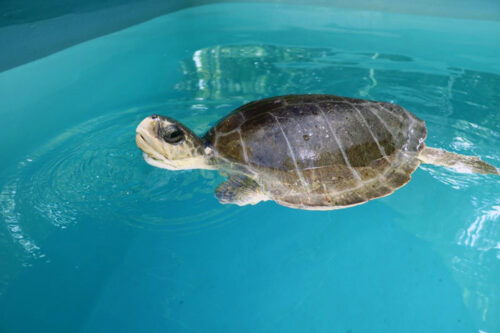 Turtle patient Disco with his head above water. Image.