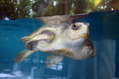 Turtle patient Heidi in the tank at the ORP Turtle Rescue Centre. Image.