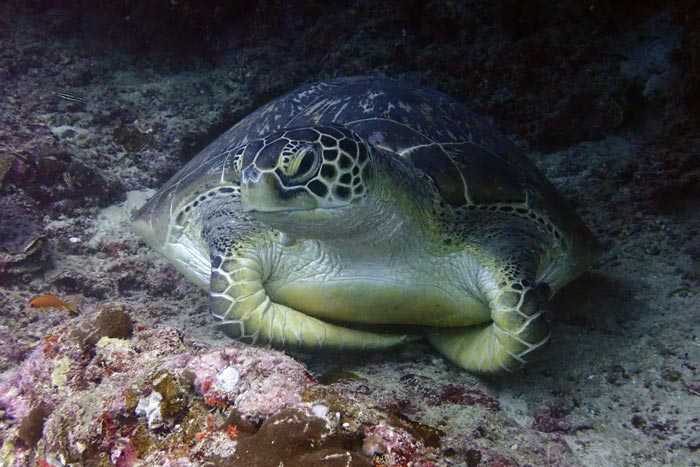 Adult female green turtle with flippers crossed, Lhaviyni Atoll, Maldives. Image.