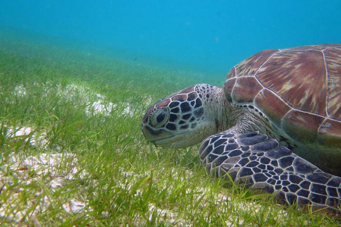 Adopt a sea turtle. Juvenile green turtle eating sea grass, Lhaviyani Atoll, Maldives. Image.