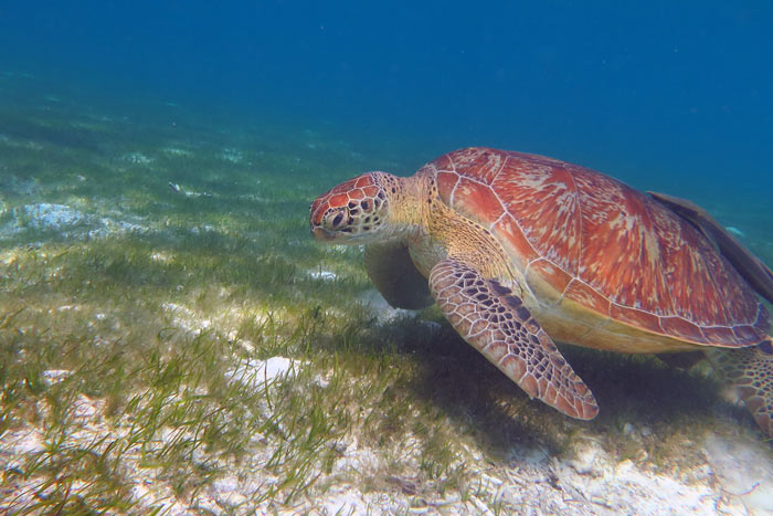 Female green turtle on sea grass, Lhaviyani Atoll, Maldives