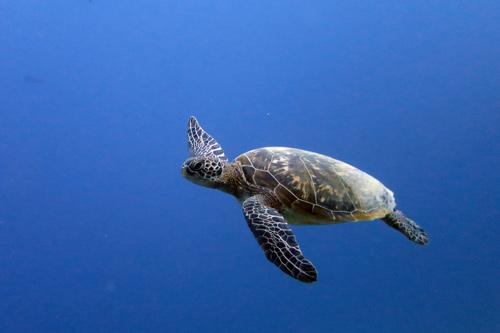 Green sea turtle swimming in the blue, Maldives. Image.