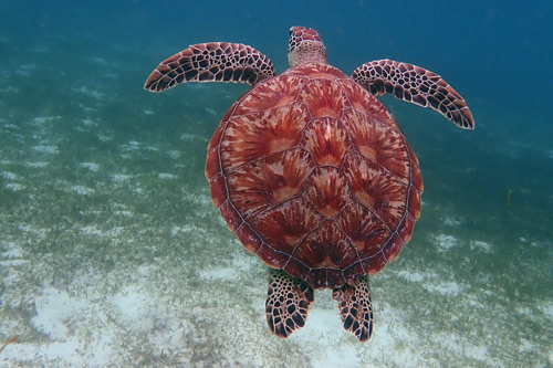 Green turtle shell, image