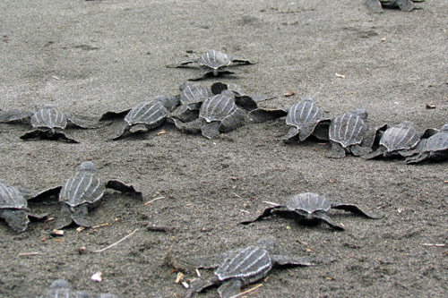 Leatherback hatchlings, Pacuare Reserve, Costa Rica