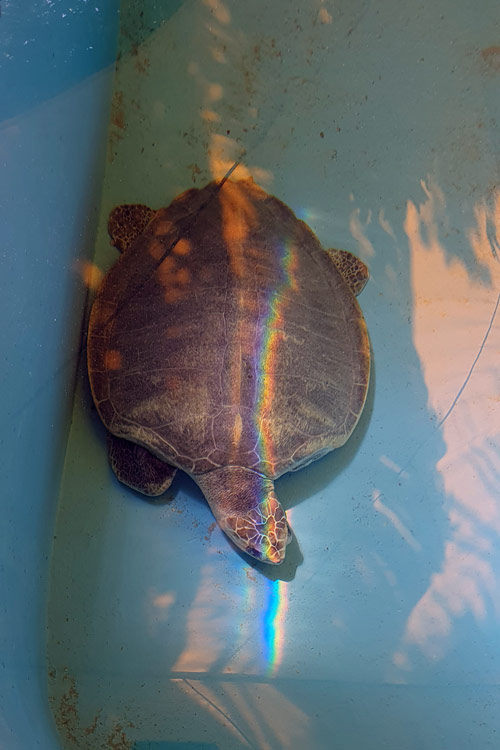 Turtle patient Heidi resting at the bottom of his tank. Image.