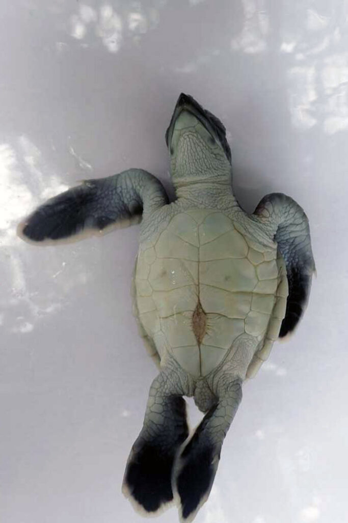 A normal turtle hatchling. Image.