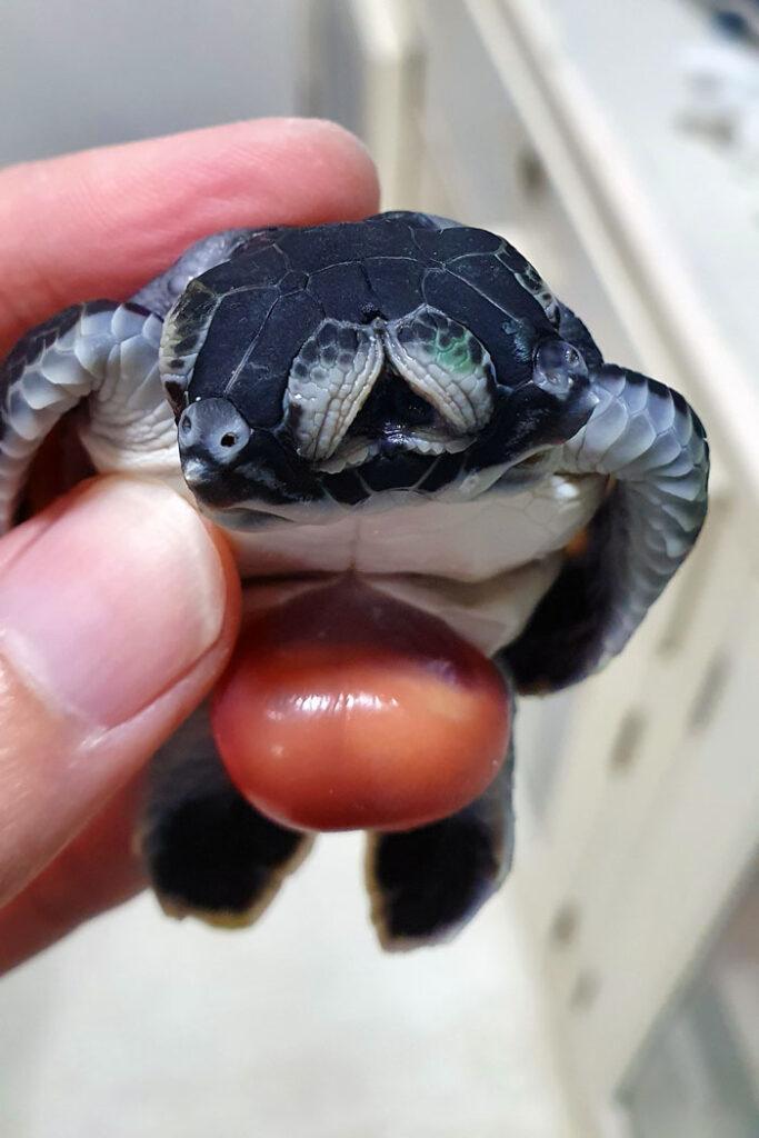 Polycephalic turtle hatchling. Image.