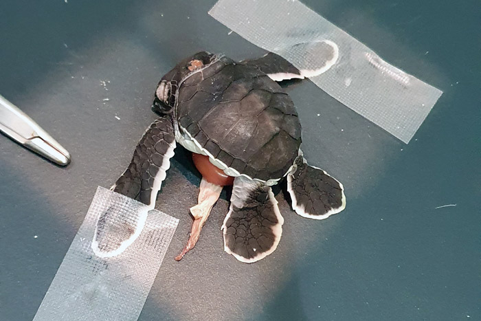 Polycephalic turtle hatchling on x-ray plate. Image.