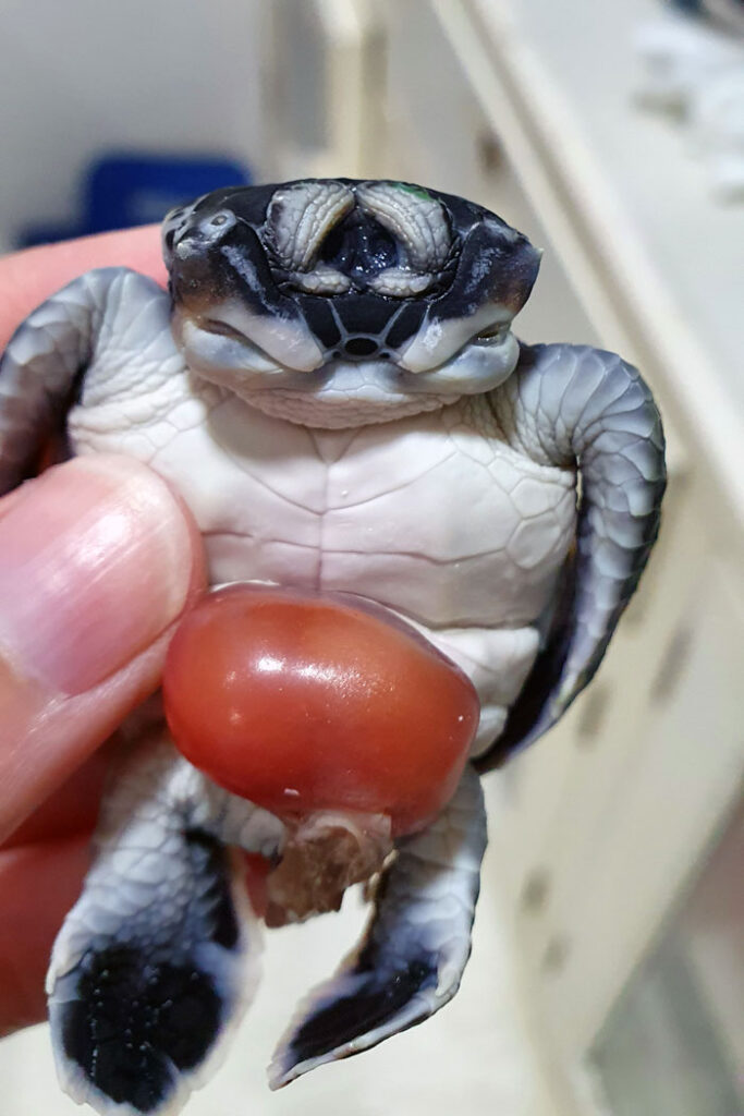 Two-headed turtle hatchling with joined eye lids. Image.