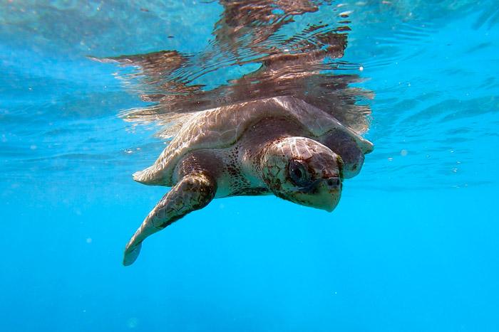 Turtle patient Xena on a sea swim. Image.
