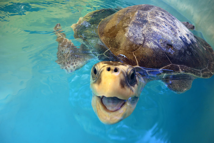 Turtle patient Xena laughing. Image.