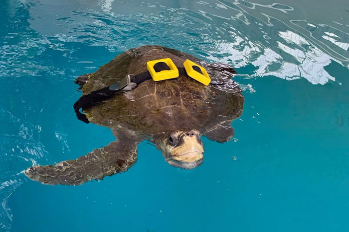 Turtle patient Xena practicing diving with a weight belt. Image.