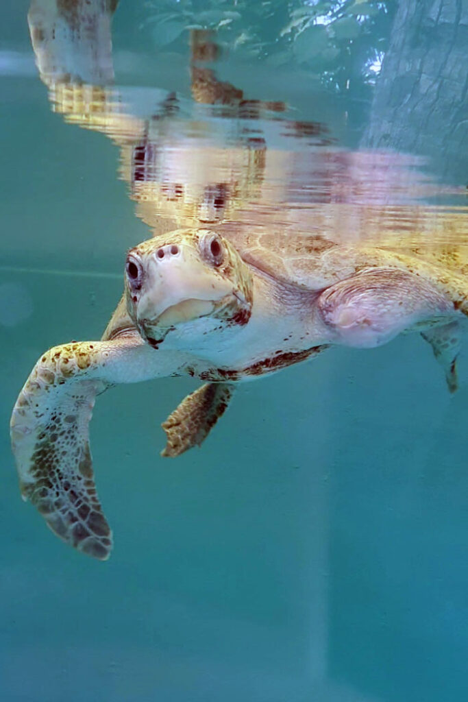 Image of ghost gear victim Xena. olive ridley turtle, in the ORP Rescue Centre tank.
