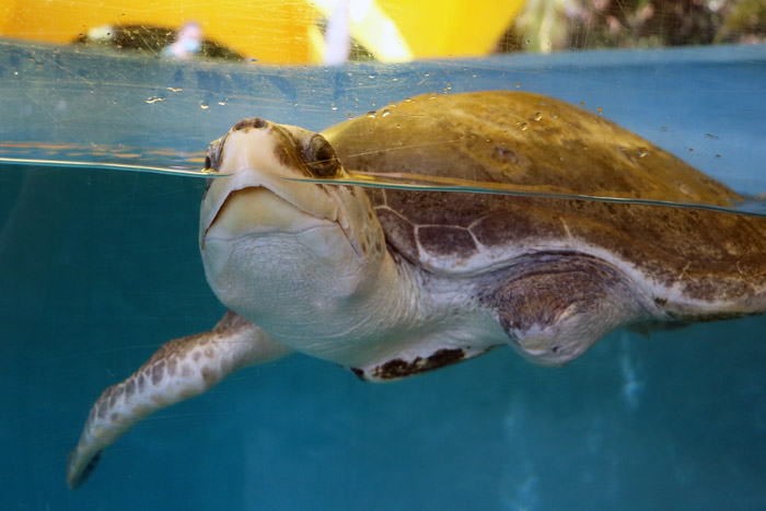 Turtle patinet Xena coming up for air. ORP Turtle Rescue Centre. Image.