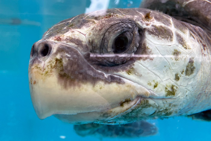 Turtle patient Xena, left profile. Image.