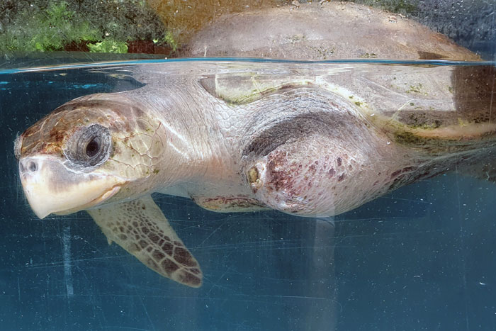 Turtle patient Xena in her tank.