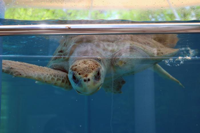 Turtle patient Zena at ORP Turtle Rehabilitation Centre, One & Only Reethi Rah, Maldives. Image.