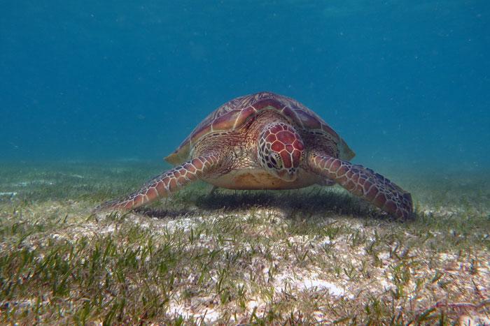 Green sea turtles eat sea grass as adults. image.