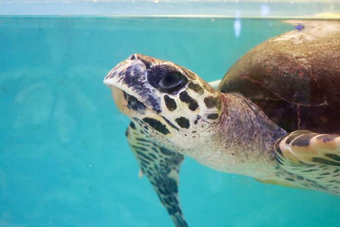 Left profile of turtle patient Harry. Image.