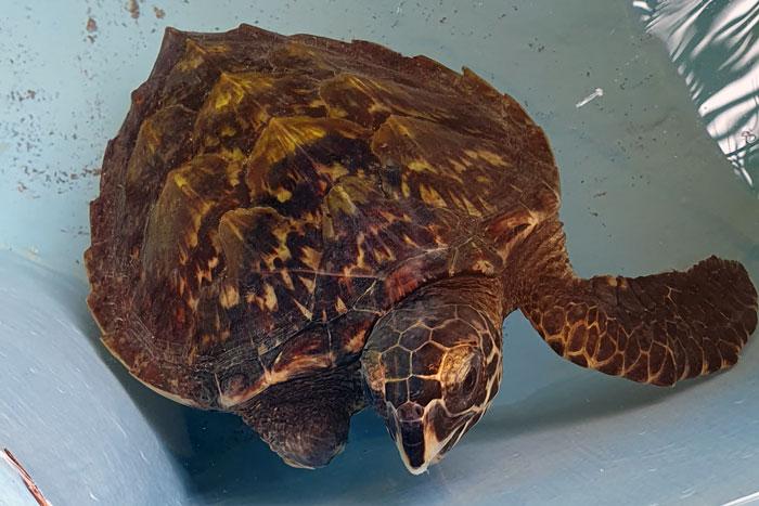 Beautiful hawksbill turtle patinet Ash. Image.