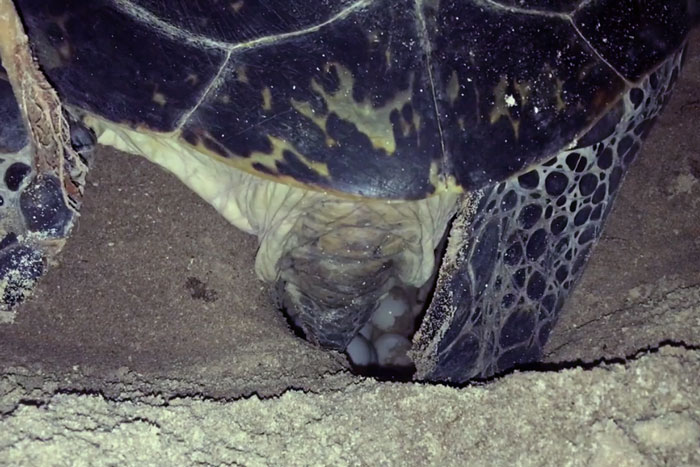 The life cycle of turtles begin with the females coming onto the beach at night to lay a nest of eggs. Image.
