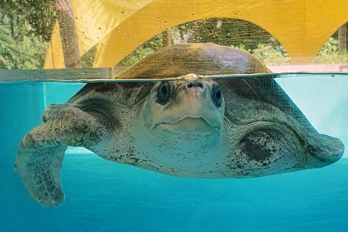 Turtle patient Azura in teh big tank. Image.