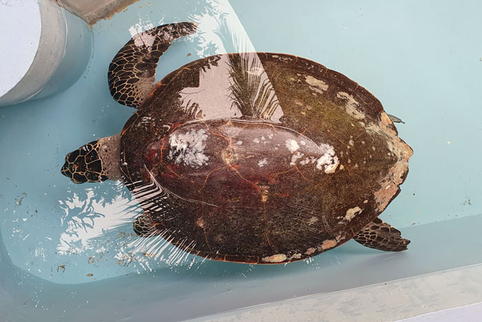 Harry, an adult male hawksbill turtle patient at ORP Rescue Centre, Maldives. Image.