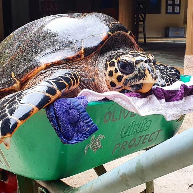 Turtle patient Harry is almost to large for the wheel barrow. Image