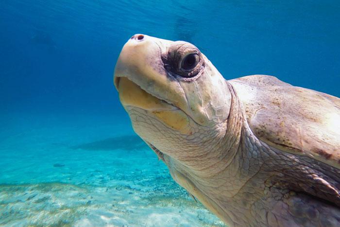 Turtle patient Heidi enjoying one of his sea swims. Image.