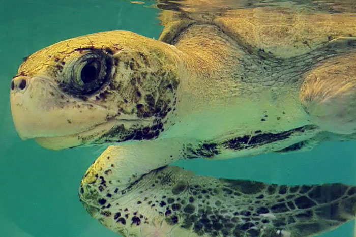 Turtle patient Xena, an olive ridley ghost net victim. Image.