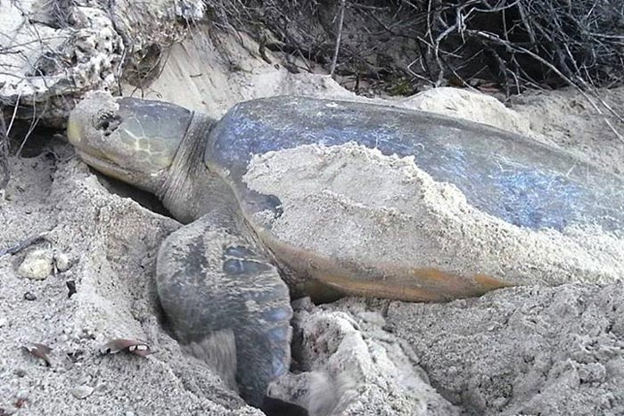 Flatback turtle nesting. Image.