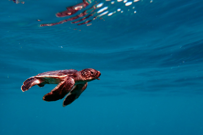 Green turtle hatcling swimming under water. Image.
