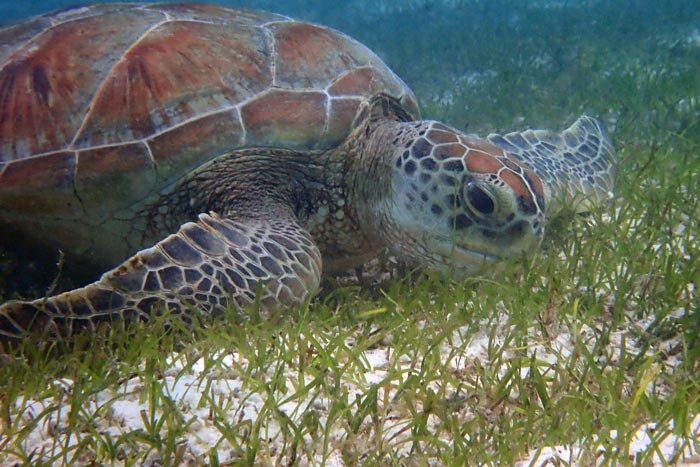 Green turtle eating seagrass, Maldives. Image.