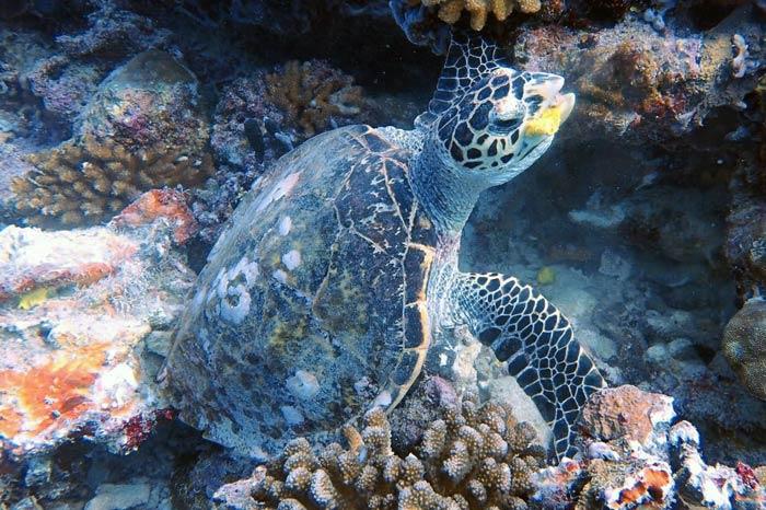 Hawksbill turtle eating sponge, Maldives. Image.