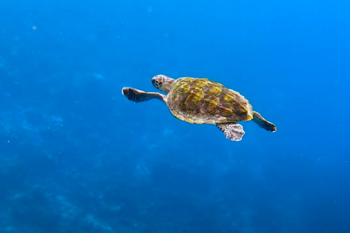 Turtle patient Ash released and back in the big blue. Image.